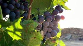 Sluit omhoog van bessen en bladeren van wijnstok op blauwe hemelachtergrond stock videobeelden