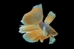 Sluit omhoog van betere vissen Stock Afbeelding