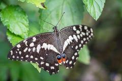 Sluit omhoog van bevlekt rood swallowtail royalty-vrije stock foto