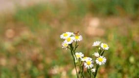 Sluit omhoog van Bij op Daisy Flower stock footage