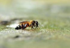 Sluit omhoog van bijen Stock Afbeelding