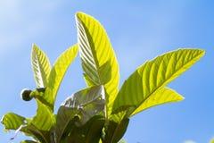 Sluit omhoog van bladeren in backlight van mispelboom op blauwe hemel als achtergrond stock fotografie