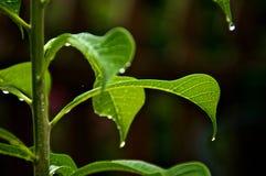 Sluit omhoog van bladeren van de boom van frangipaniplumeria stock fotografie
