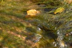 Sluit omhoog van bladeren en algen in een bergstroom, Valtrebbia, Italië Stock Fotografie