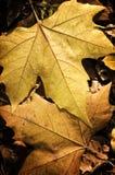 Sluit omhoog van bladeren van de de gele Herfst Royalty-vrije Stock Afbeeldingen