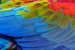 Sluit omhoog van blauw-en-gouden aravogelveren stock afbeelding