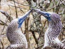 Sluit omhoog van blauwe betaalde domoor bij het eiland van de Galapagos van het Noorden Seymo Stock Fotografie