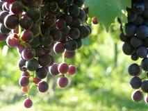 Sluit omhoog van Blauwe Druivencluster in Zonsondergang Royalty-vrije Stock Foto's