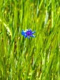 Sluit omhoog van blauwe Korenbloemen royalty-vrije stock foto's