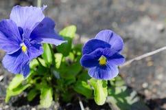Sluit omhoog van blauwe pansies die in de tuin groeien royalty-vrije stock afbeeldingen