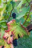 Sluit omhoog van blauwe Wijnstok van druiven en kleurrijke de herfstbladeren onder stock afbeeldingen