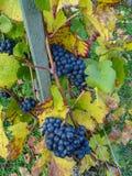 Sluit omhoog van blauwe Wijnstok van druiven en kleurrijke de herfstbladeren onder royalty-vrije stock foto's