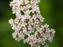 Sluit omhoog van Bleek - roze kornoeljebloemen stock fotografie