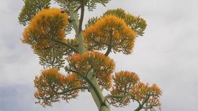 Sluit omhoog van bloeiende agaveinstallatie met kolibrie stock video
