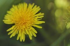 Sluit omhoog van bloeiende gele paardebloembloemen Stock Foto's