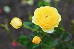 Sluit omhoog van bloeiende gele rozenstruik in de tuin met vage achtergrond Stock Afbeeldingen