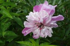 Sluit omhoog van bloeiende pioen Stock Fotografie