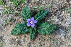 Sluit omhoog van bloem van autumnalis van Mandrake Mandragora royalty-vrije stock foto