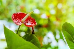 Sluit omhoog van bloemen van de anthurium de rode Flamingo of de Jongen bloeit Vlechtanthurium in botanische andraeanum van de tu stock afbeelding