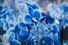 Sluit omhoog van bloemen van een de Blauwe Mottenorchideeën royalty-vrije stock foto's
