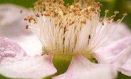 Sluit omhoog van bloemmeeldraad en bloemblaadjes Stock Fotografie