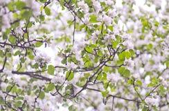 Sluit omhoog van bloesembloemen in de vroege de lenteochtend Mooi de lente bloemenpatroon Royalty-vrije Stock Afbeelding