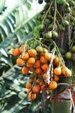 Sluit omhoog van Bospinangnoot op een palm Stock Foto