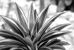 Sluit omhoog van Bromeliainstallaties in tuin Royalty-vrije Stock Afbeeldingen