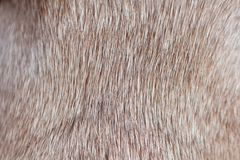 Sluit omhoog van bruin kort haired gezond hondenbont zonder undercoat stock afbeelding