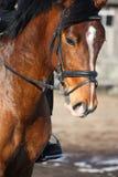 Sluit omhoog van bruin paard met ruiter Stock Foto