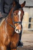 Sluit omhoog van bruin paard met ruiter Royalty-vrije Stock Foto's