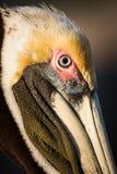 Sluit omhoog van bruin pelikaan hoofdportret Stock Fotografie