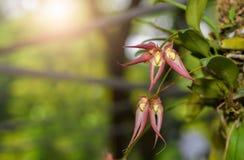 Sluit omhoog van Bulbophyllum-orchideebloem stock afbeeldingen