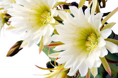 Sluit omhoog van cactusbloemen Royalty-vrije Stock Afbeelding