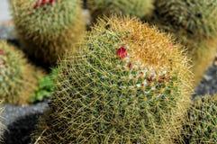 Sluit omhoog van cactusbloesem Royalty-vrije Stock Fotografie
