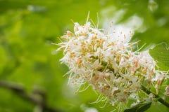 Sluit omhoog van californica van de bloemenaesculus van Californië buckeye stock afbeeldingen