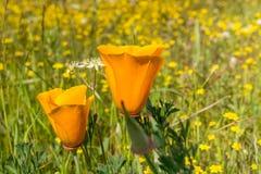 Sluit omhoog van californica van Twee papaverseschscholzia van Californië; goudvelden op de achtergrond; Californië stock afbeelding