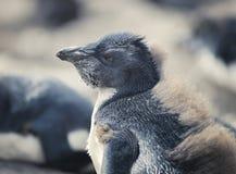 Sluit omhoog van Chick Rockhopper Penguin, Falkland Islands stock foto's