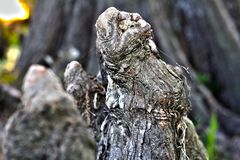 Sluit omhoog van Cipresknie in Meer Martin Louisiana Swamp Stock Afbeelding