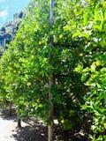 Sluit omhoog van Citroenen die van een boom in een citroenbosje hangen royalty-vrije stock fotografie