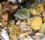 Sluit omhoog van cluster van kleurrijke zeeanemoon, zwarte tulbandslak en spieren bij de getijdenpool in Laguna Beach Californië  stock afbeelding