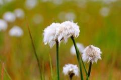 Sluit omhoog van Cottongrass van Scheuchzer, Hrafnafifa, IJsland stock afbeelding