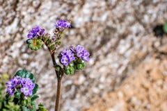 Sluit omhoog van crenulata van Phacelia Phacelia wildflower bloeiend in het Park van de de Woestijnstaat van Anza Borrego, de pro stock fotografie