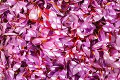 Sluit omhoog van de achtergrond van saffraanbloemen Stock Afbeeldingen