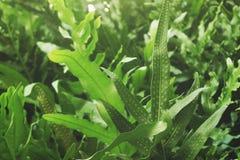 Sluit omhoog van de bladeren van de groenvaren met sporen Stock Foto's