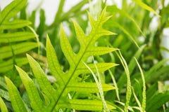 Sluit omhoog van de bladeren van de groenvaren met sporen selectieve nadruk Royalty-vrije Stock Afbeeldingen