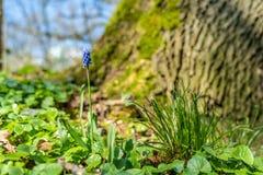 Sluit omhoog van de bloem van de Druivenhyacint in bosfrankfurt, Duitsland stock foto