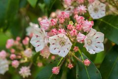 Sluit omhoog van de bloemen van de berglaurier stock foto