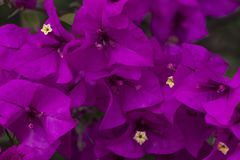 Sluit omhoog van de bloemen van Curazao of van bougainvillea met purpere bloemen met verse groene bladeren in de zomerlicht met r stock foto's