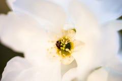 Sluit omhoog van de bloemen van de perenboom Royalty-vrije Stock Afbeeldingen